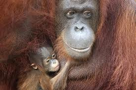 Twin Centre Holidays Borneo Orangutan Sanctuary.